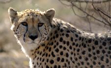 Cheetah Watching Stock Photo