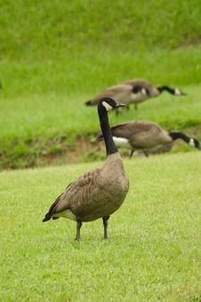 Free Canadian Goose Stock Photography - 2777762