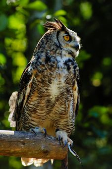 Free Eurasian Eagle Owl Stock Image - 2778021