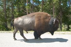 Free Yellowstone Park Bison Royalty Free Stock Photos - 2778048