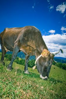 Free Cow Grazing On Hill Royalty Free Stock Photo - 2778365