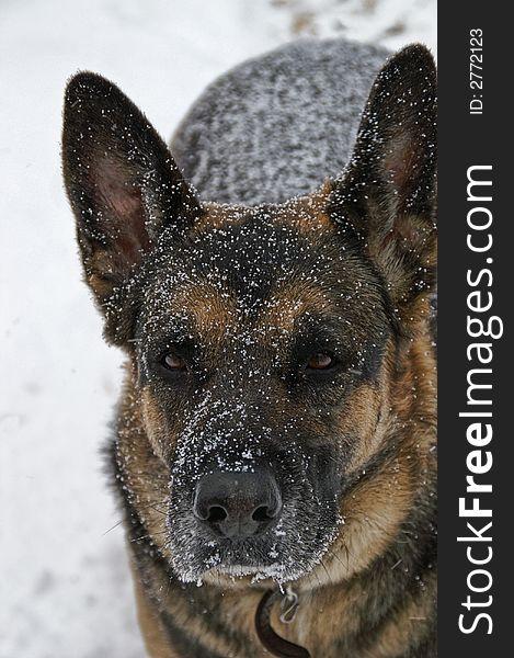 German Shepherd Dog in snow