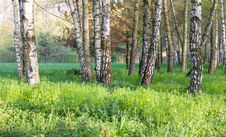 Spring In The Birch Forest - Beautiful Nature Royalty Free Stock Photos