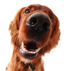 Free Irish Setter Royalty Free Stock Image - 27707156