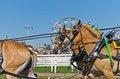 Free Belgian Draft Horses At Country Fair Royalty Free Stock Images - 27711169