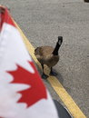 Free Canadian Goose Canada Flag Royalty Free Stock Image - 27718676