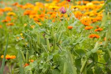 Free Pea Plants And Calendula Royalty Free Stock Images - 27713739