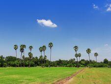 Free Rice Fields, Sugar Palm. Stock Photos - 27716143