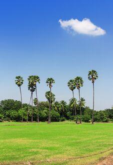 Free Rice Fields, Sugar Palm. Stock Image - 27716181
