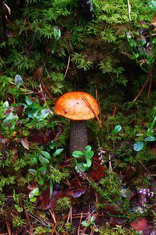 Orang Aspen Mushroom Stock Images