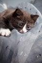 Free Small Kitten Royalty Free Stock Image - 27721846
