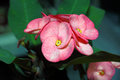 Free Crown Of Thorns Flower Royalty Free Stock Image - 27724786