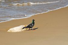 Free Pigeon Walk On The Shore Stock Photography - 27722072