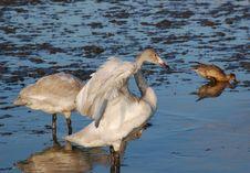 Free Wild Siberia Swan Royalty Free Stock Image - 27725636