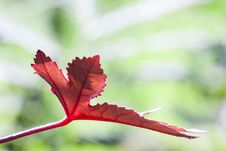 Free Red Leaf Stock Photos - 27726233
