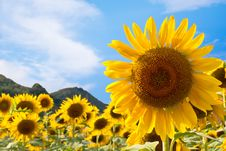 Sunflower Field With Blue Sky Background Stock Photography