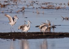 Free Sandhill Cranes Royalty Free Stock Photo - 27727235