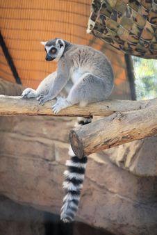 Free Lemur Royalty Free Stock Photo - 27730135