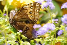 Free Owl Butterfly Royalty Free Stock Image - 27736956