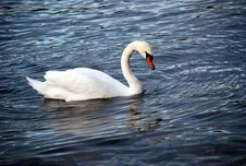 Mute Swans &x28;Cygnus Olor&x29; Swimming In A Lake Royalty Free Stock Photography