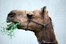 Free Camel Eating Grass Stock Photography - 27737312