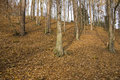 Free Beech Forest Stock Photos - 27742093
