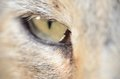 Free Cat&x27;s Eye Royalty Free Stock Photography - 27743647