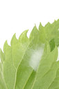 Free Cocoon Fastened To The Underside Of Leaf Royalty Free Stock Photography - 27744267