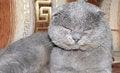 Free Scottish Fold Grey Cat Stock Image - 27746921