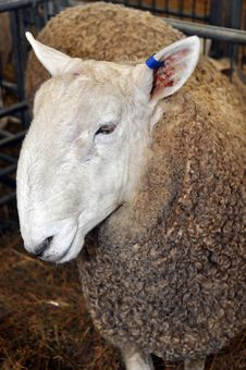 Champion Sheep At The 2012 Canterbury A&P Show Stock Photos