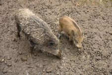 Free Wild Boar Royalty Free Stock Photography - 27743277