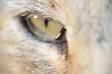 Free Cat S Eye Royalty Free Stock Photography - 27743647