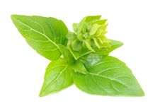 Free Green Basil With Flower Buds Stock Images - 27744314