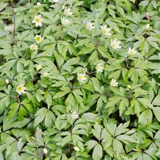 Free Wood Anemone &x28;Windflower&x29; Flowers Stock Photos - 27744443