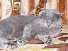 Free Scottish Fold Grey Cat Stock Photography - 27746872