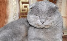 Free Scottish Fold Grey Cat Stock Image - 27746921