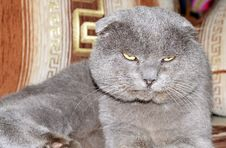 Free Scottish Fold Grey Cat Stock Photos - 27747003