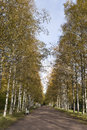 Free Autumn Birch Alley Royalty Free Stock Images - 27755459