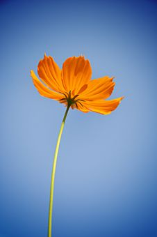 Free Cosmos Flower Stock Photography - 27752912
