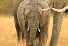 Free Elephant Stock Photography - 27753702