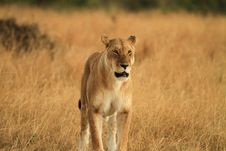 Free Lion Stock Photography - 27753832