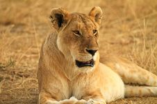 Free Lion In Wild Royalty Free Stock Photo - 27754065