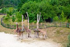 Free Eating Giraffes Stock Photo - 27757250