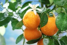 Free Ripe Tangerines On A Tree Branch. Stock Photo - 27757420