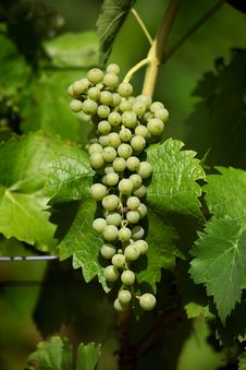 Free Green Grapes Stock Photography - 27759972