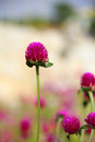 Free Red Clover Stock Image - 27761341