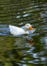 Free Duck Stock Photography - 27763352