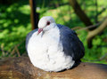 Free White-Headed Pigeon Royalty Free Stock Image - 27769496