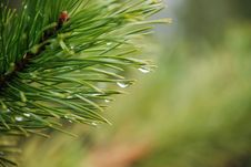 Free Rain Drops On A Branch Of Crimean Pine On A Green Royalty Free Stock Photography - 27764517