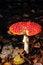 Free Fly Agaric. Toadstool. Mushroom. Royalty Free Stock Photo - 27769335